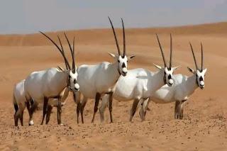 Oryxen of spiesbokken zijn woestijn bewonende antilopen uit Afrika en Arabië. Ze behoren tot de onderfamilie der paard-antilopen en komen voor in de Verenigde Arabische Emiraten.