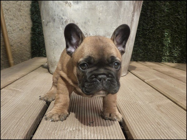 Photo - Comment laver mon Bouledogue Français ou French Bulldog