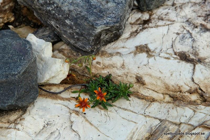 Gullbräcka Saxifraga aizoides