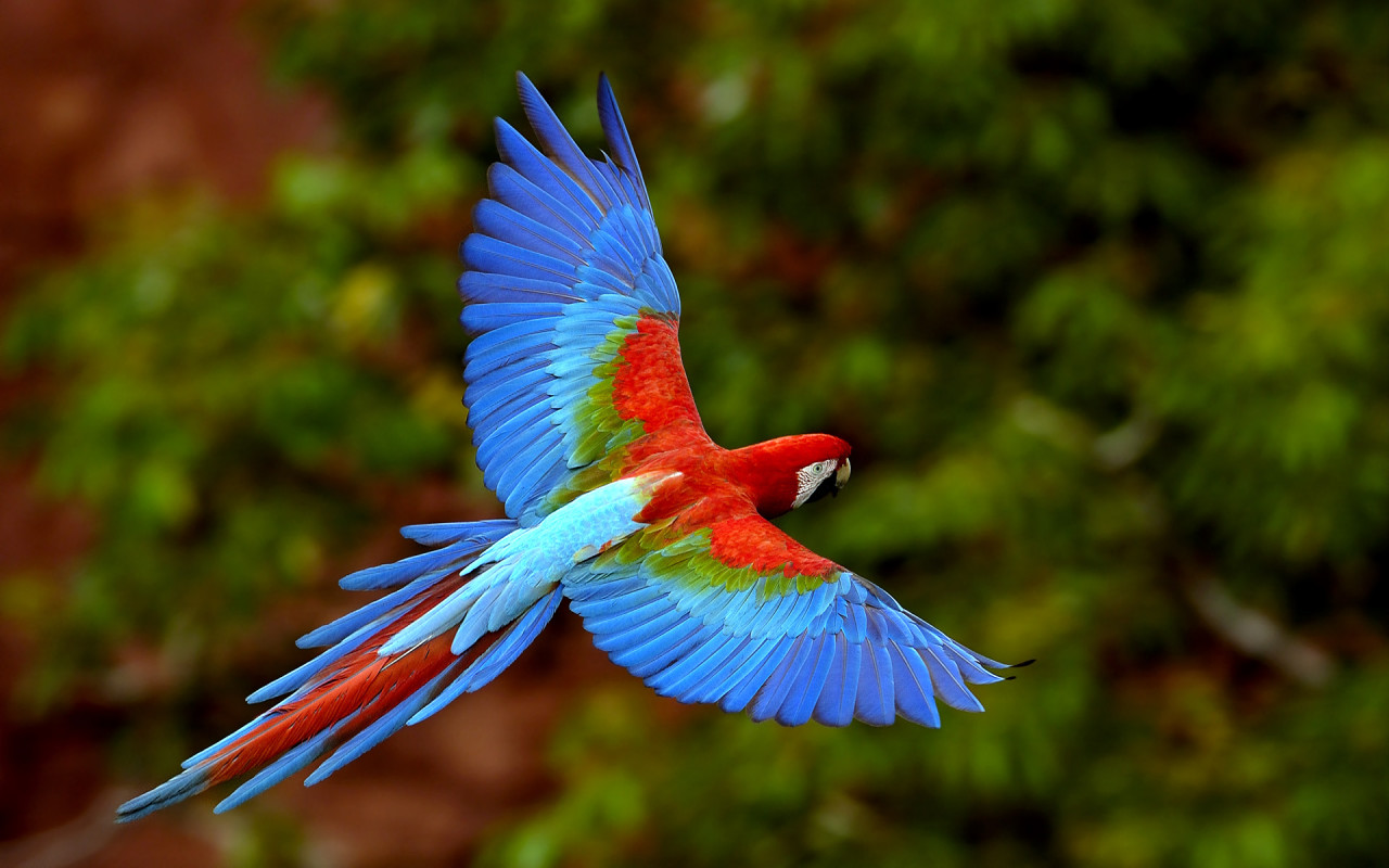 Beautiful parrot pictures 1 beautiful flying parrot