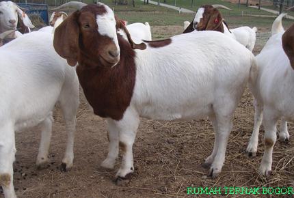 gambar sapi dan kambing - gambar kambing - gambar sapi dan kambing