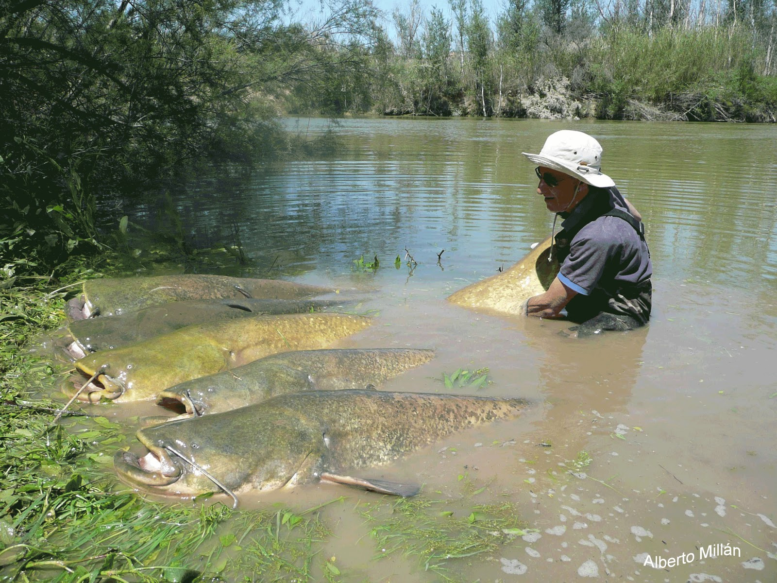 Catfish Fishing Guide In The River Ebro Catfishing And
