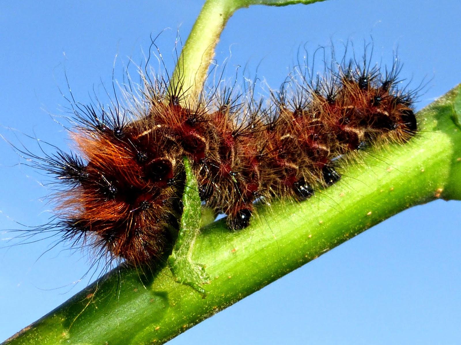 Loepa oberthuri caterpillar