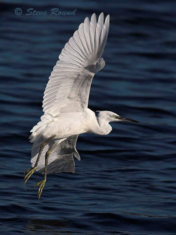 birds, Little Egret, flying