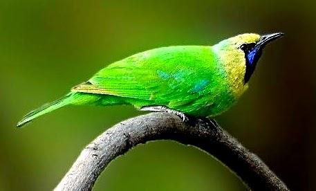 Foto Burung Cucak Rante Jantan