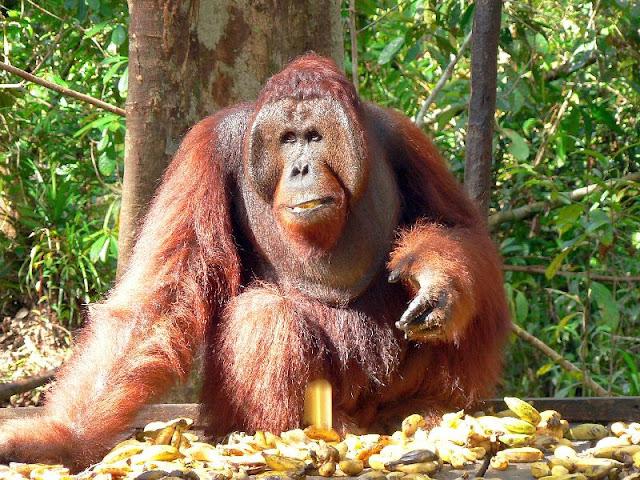 Orangutan King Orangutan | The Bigges...