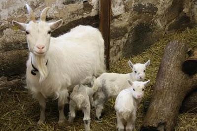 Sau 5 tháng mang bầu chúng có thể đẻ 1 lứa 4 dê con