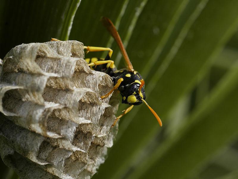 European paper wasp nest
