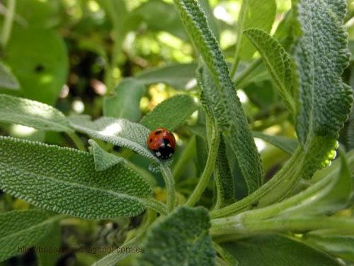 la salvia excelente planta para nuestro huerto,atrayente de numerosos insectos beneficiosos