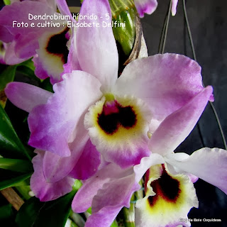 Dendrobium, Orquídea Olho de Boneca