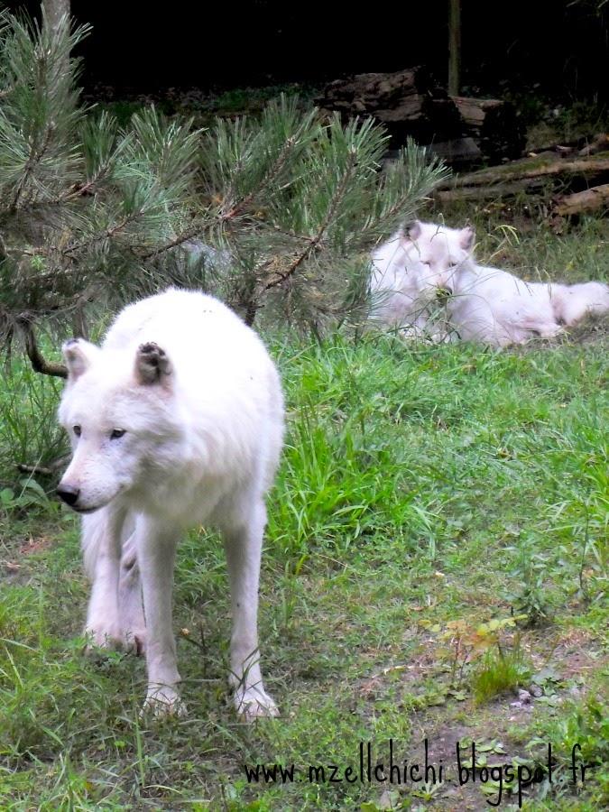 Zoo-Pessac-Loup-Arctique