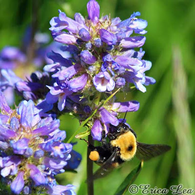 Bombus nevadensis, Nevada Bumblebee