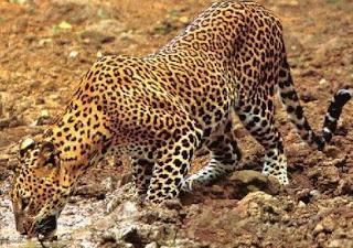 Leopardo comiendo