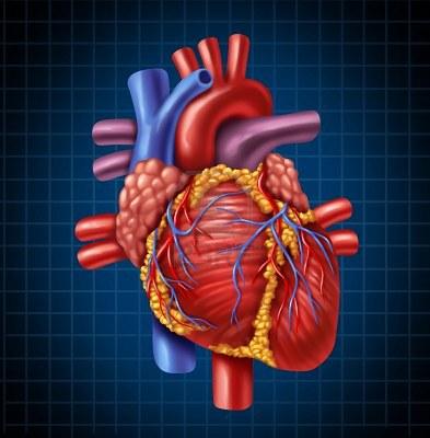 cardiopulmonares- ucv: Anatomia Cardiaca