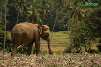 elefante-asiatico