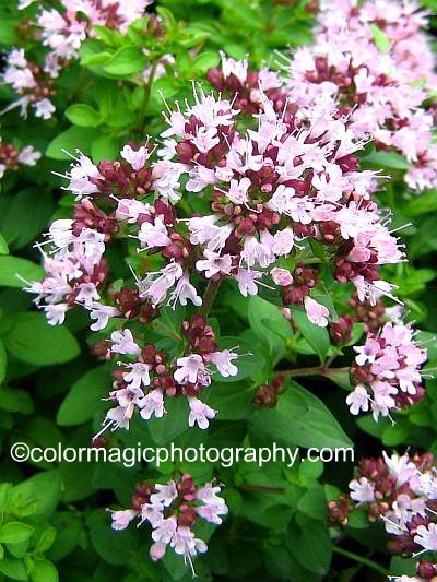 Oregano flowers-closeup