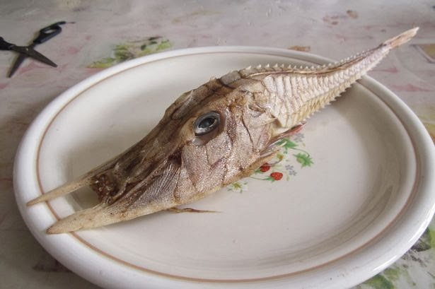 Spesis misteri ikan perisai ditemui di luar Borneo