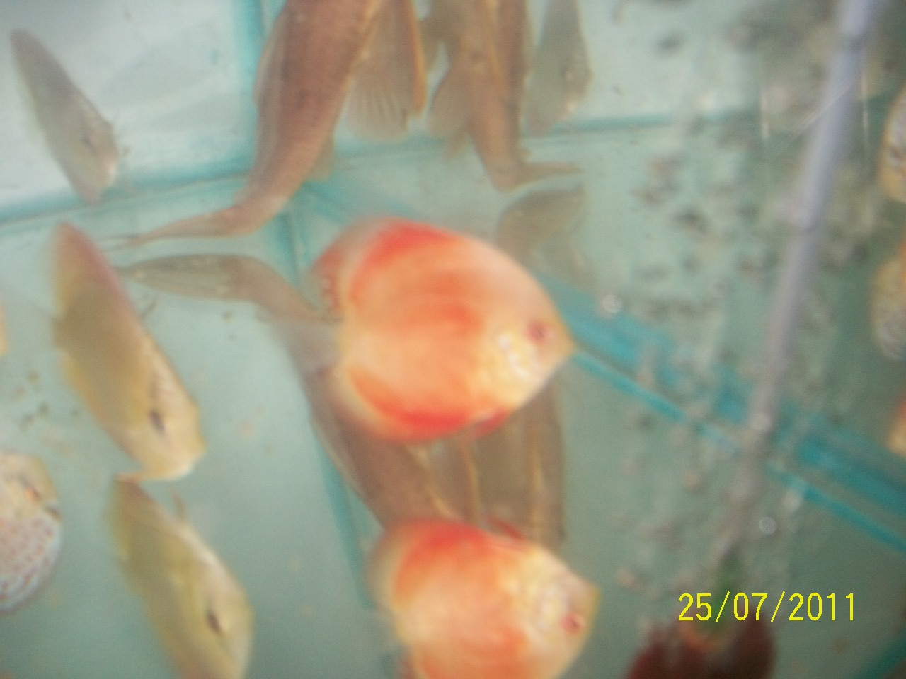 Discus fish for sale bangalore buy discus fish online for Fish for sale online