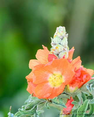 Scarlet Mallow. Photograph  © Shelley Banks, all rights reserved.