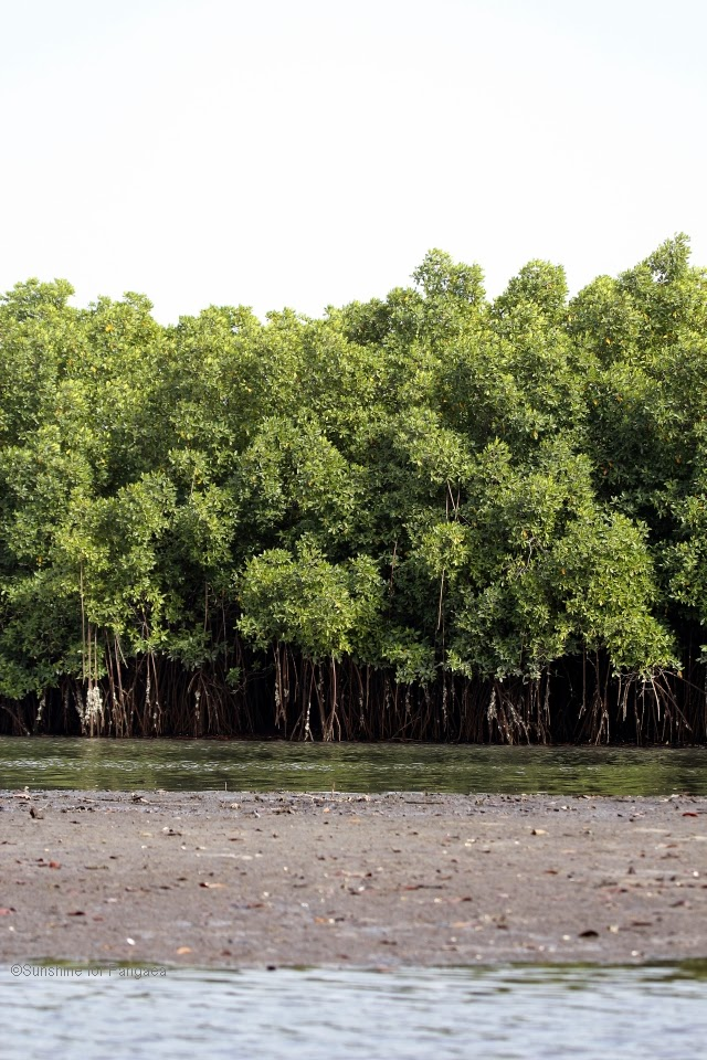 Mangrove forest near the Lamin lodge in the Gambia