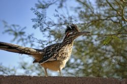 new mexico state bird, greater roadrunner