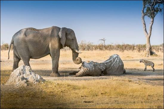 gajah-di-afrika