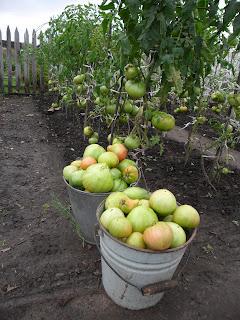 14 августа, собрано 2 ведра помидоров