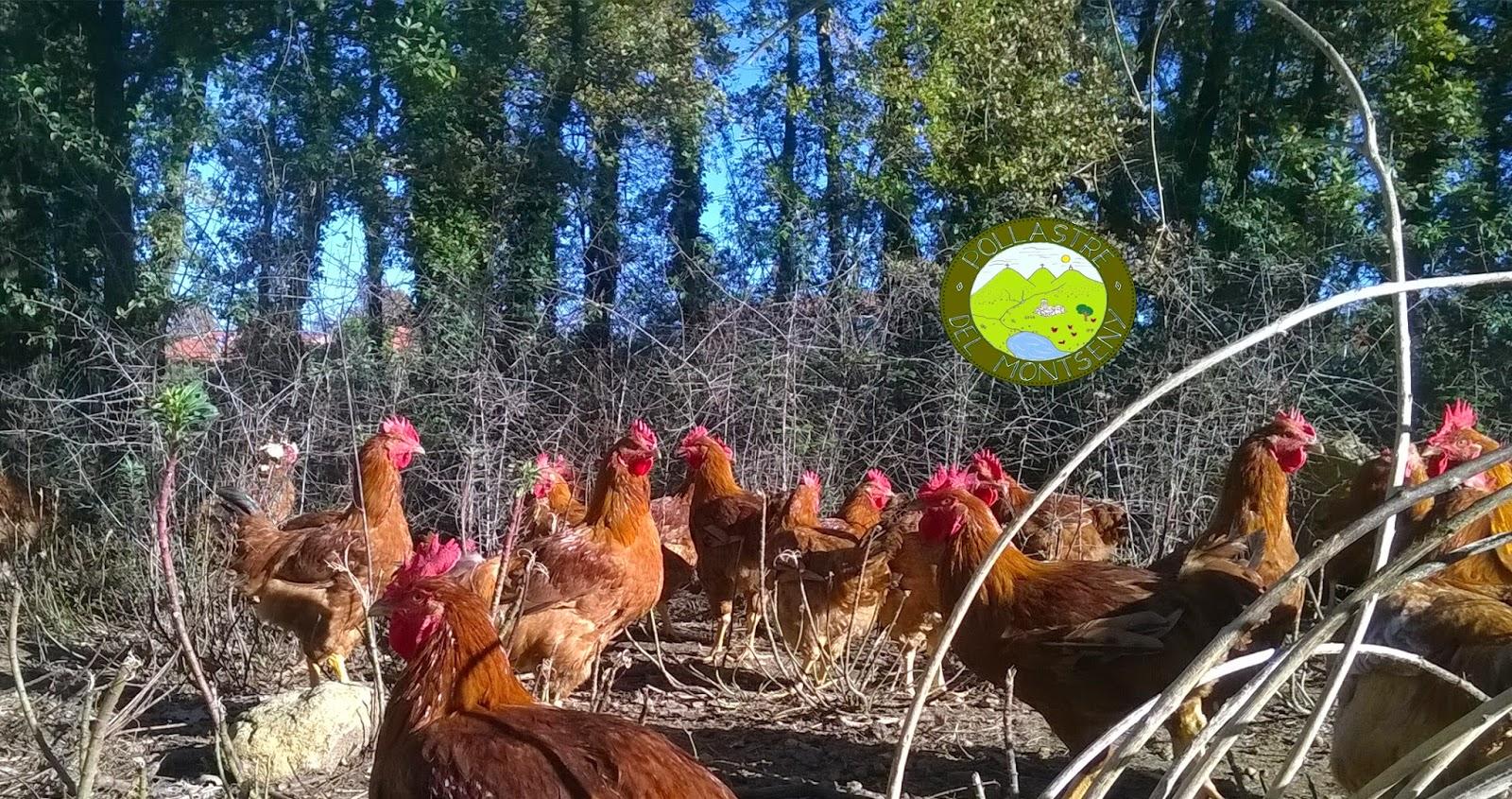 pollastre de pages
