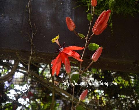 Bunga Merah