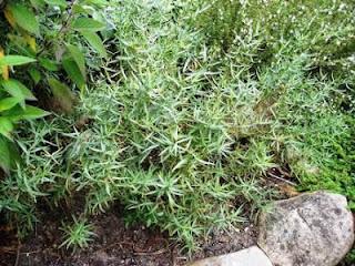 Tarragon | Artemisia Dracunculus | Asteraceae