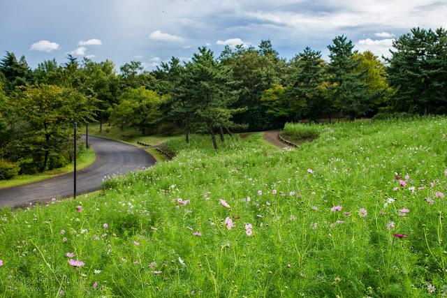 昭和記念公園、花の丘のコスモス