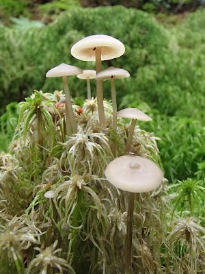 Tephrocybe palustris - popielatek torfowiskowy, grzyby lipca, grzybobranie na Orawie, Orawa, Lipnica Wielka
