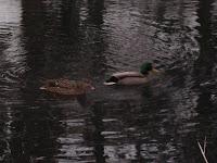 Our wild Mallard ducks...