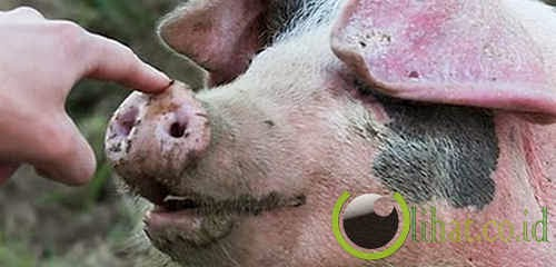 Seekor babi cerdas yang menyelamatakan penderita serangan jantung