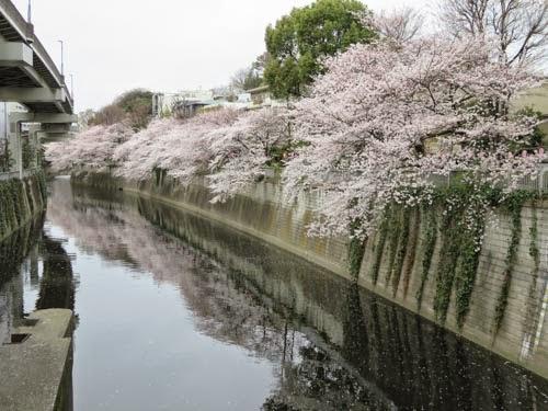 江戸川橋公園桜01