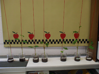 how to grow bush been in cup classroom