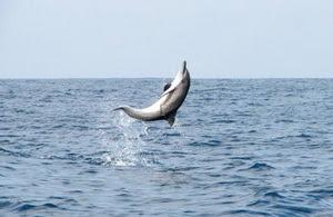 Pesona Keindahan Teluk Kiluan, Teluk Kiluan Lampung Selatan, Lampung, Bandar Lampung, Teluk Kiluan, lumba-lumba lompat dari air