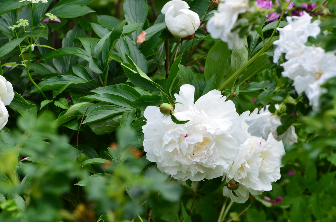 Flower Hill Farm Herbaceous Peonies Throughout The Gardens