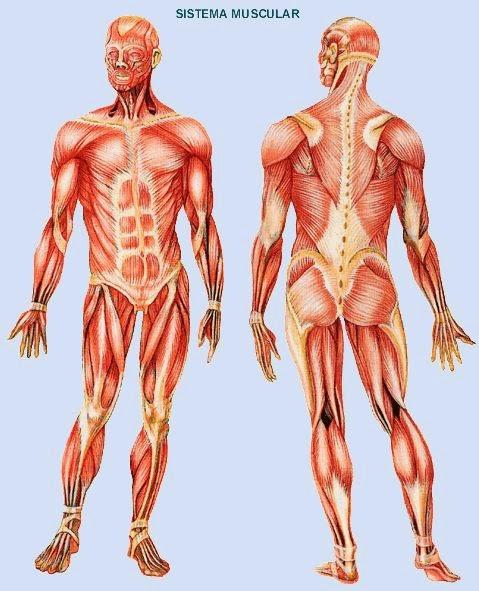 Esculapio Hijo del Sol: Sistema Muscular