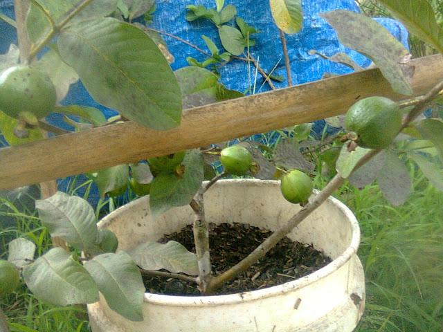 Pohon Jambu Biji Berbuah Karena Dicangkok Berderet