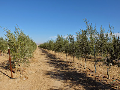 Hopes for an Olive Future in the Valley