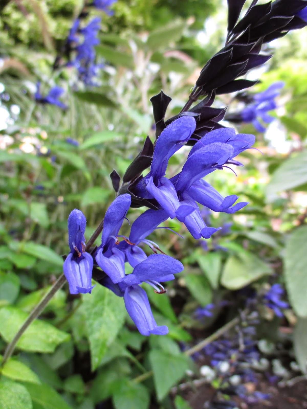 7eb3570b301 Hummingbirds Are Requesting  Black   Blue  Salvia - Rotary Botanical ...