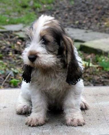 Petit basset griffon vend en the life of animals - Petit basset hound angers ...