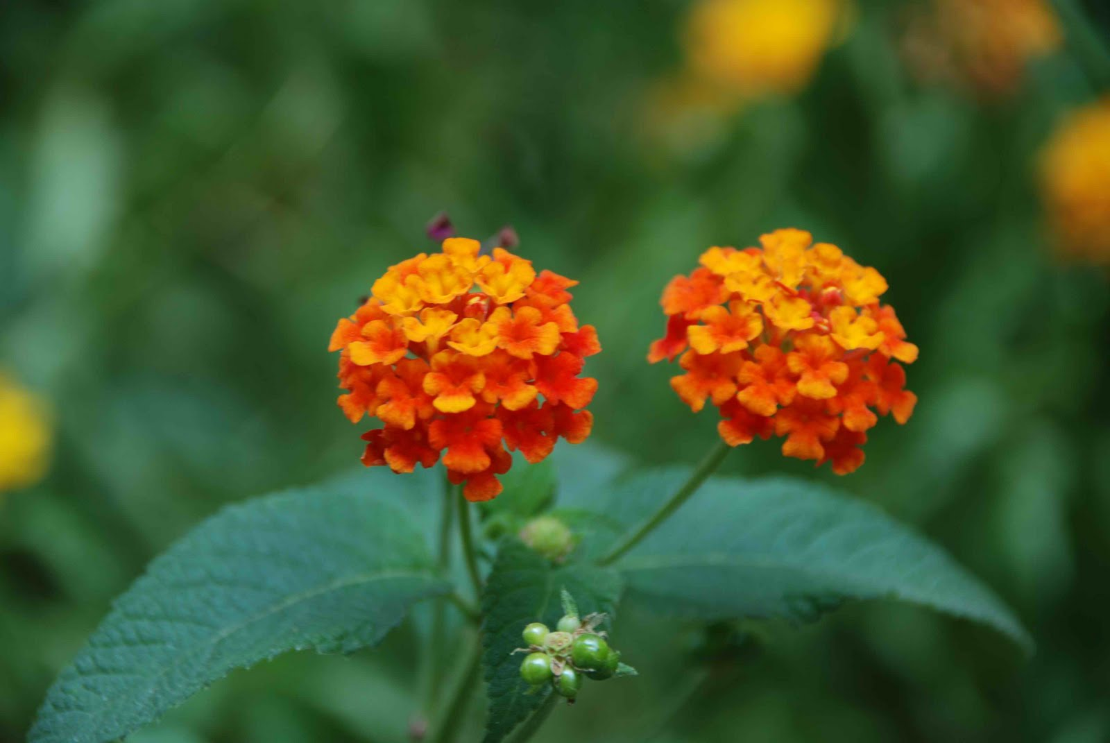 Flower Picture Lantana Flower india
