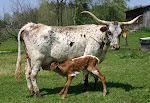 For Sale - Bred Cow &amp; calf