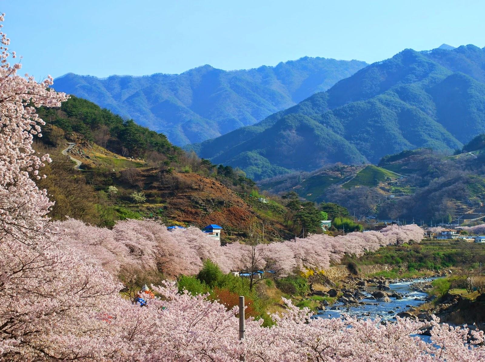 cherry-blossoms-korea
