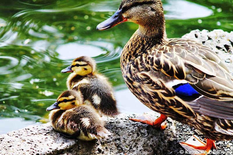 Duck and Ducklings Crystal Springs Rhododendron Garden Portland Oregon