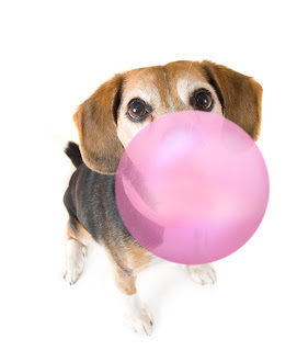 Xylitol is used in sugarless gum and other treats. It's toxic to dogs.