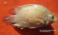 Malayan Leaffish