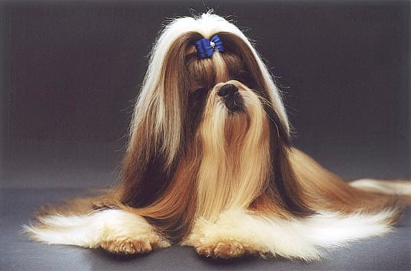 Hairstyles For U Shih Tzu Hairstyles Variations Look Lovely On The
